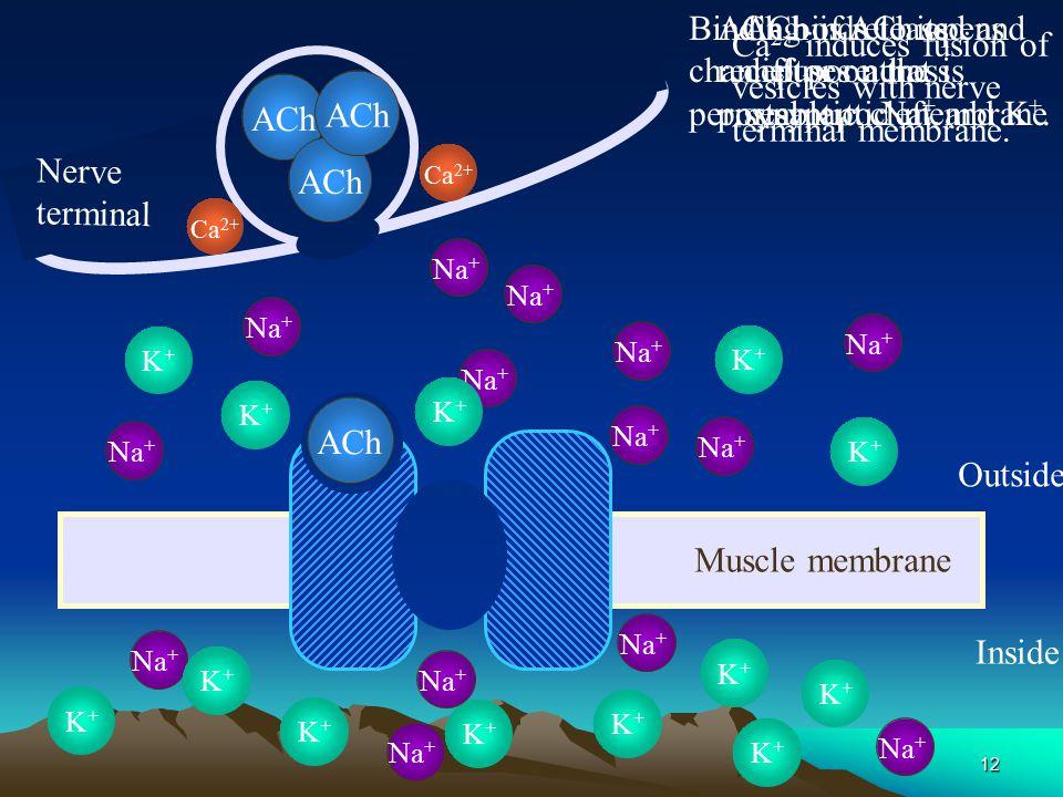 11 Neuromuscular Transmission: Transmission: Step by Step Nerve action potential invades axon terminal - + - - - - - - + + + + + + + - - - + + Depolar