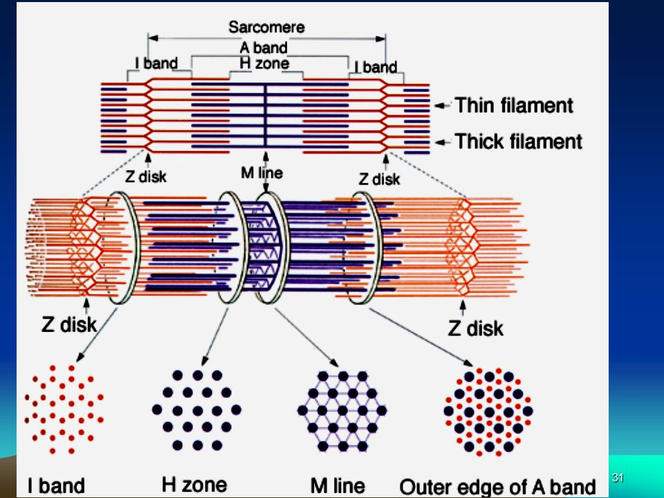 30 Sarcomeres  Sarcomere 肌小节 : bundle of alternating thick and thin filaments  Sarcomeres join end to end to form myofibrils  Thousands per fiber,