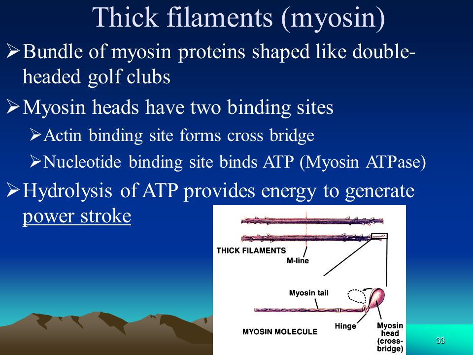 32  Myosin head is hinged  Bends and straightens during contraction Myosin 肌球蛋白