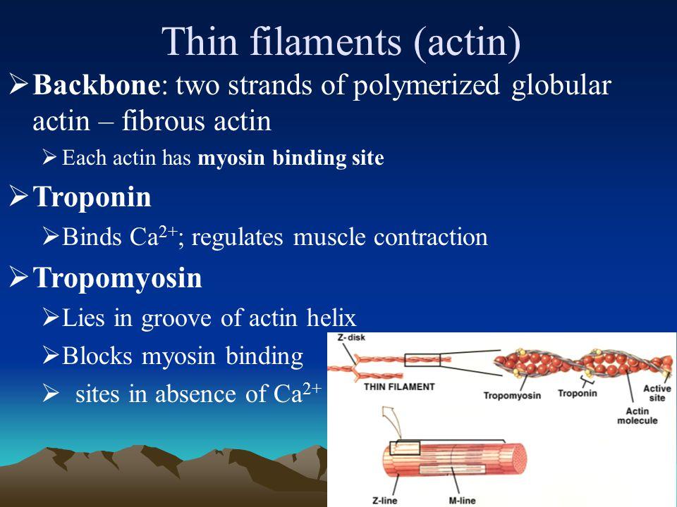 34 Thin filaments 原肌球蛋白肌钙蛋白 肌动蛋白