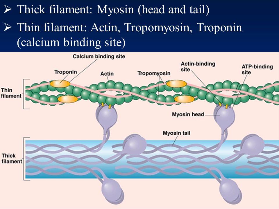 35 Thin filaments (actin)  Backbone: two strands of polymerized globular actin – fibrous actin  Each actin has myosin binding site  Troponin  Bind