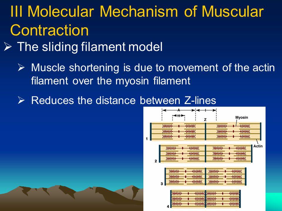 36  Thick filament: Myosin (head and tail)  Thin filament: Actin, Tropomyosin, Troponin (calcium binding site)
