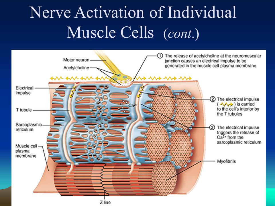 41 Energy for Muscle Contraction  ATP is required for muscle contraction  Myosin ATPase breaks down ATP as fiber contracts