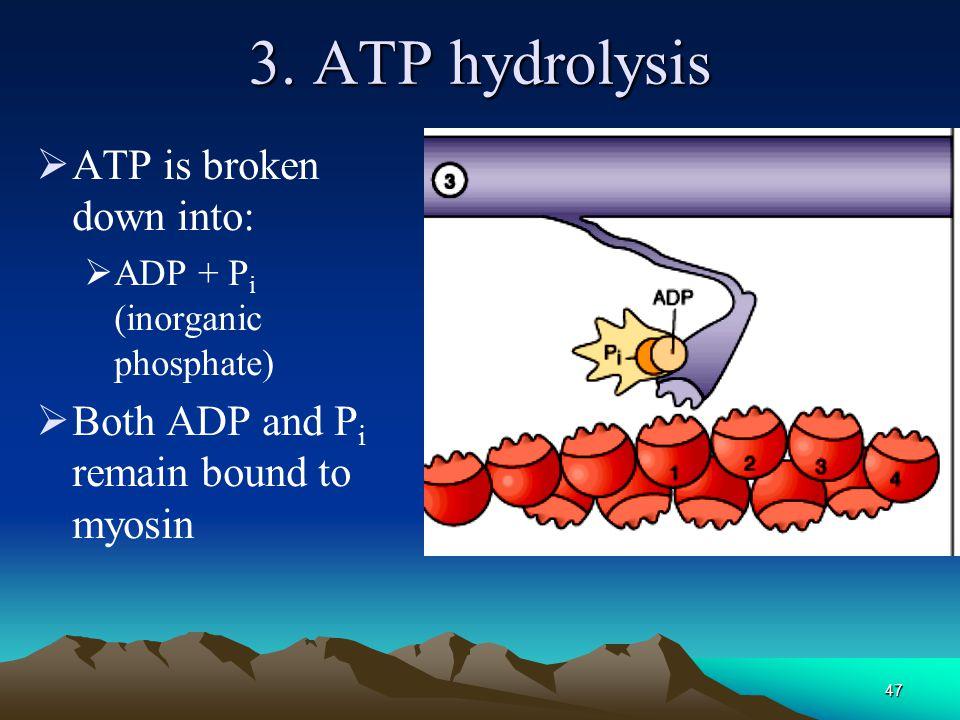 46 2. ATP binds to myosin  Myosin changes conformation, releases actin
