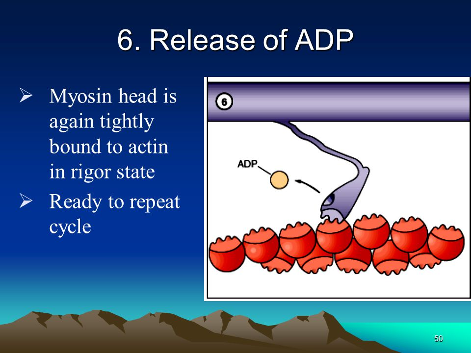 49 5. Power stroke  Release of P i from myosin releases head from high energy state  Head pushes on actin filament and causes sliding  Myosin head