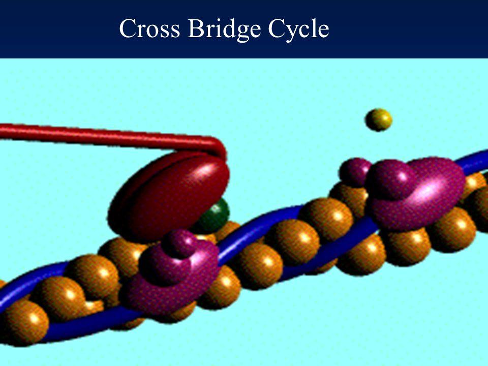 51 THE CROSS-BRIDGE CYCLE ATP ADP + P i A M A – M  ATP A M ADP P i A + M  ADP  P i Relaxed state Crossbridge energised Crossbridge attachment Tensi