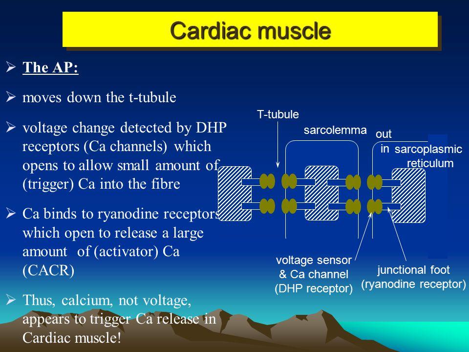out in voltage sensor (DHP receptor) junctional foot (ryanodine receptor) sarcoplasmic reticulum sarcolemma T-tubule Skeletal muscle  The AP:  moves