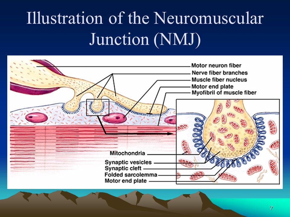 6 Skeletal Muscle Innervation