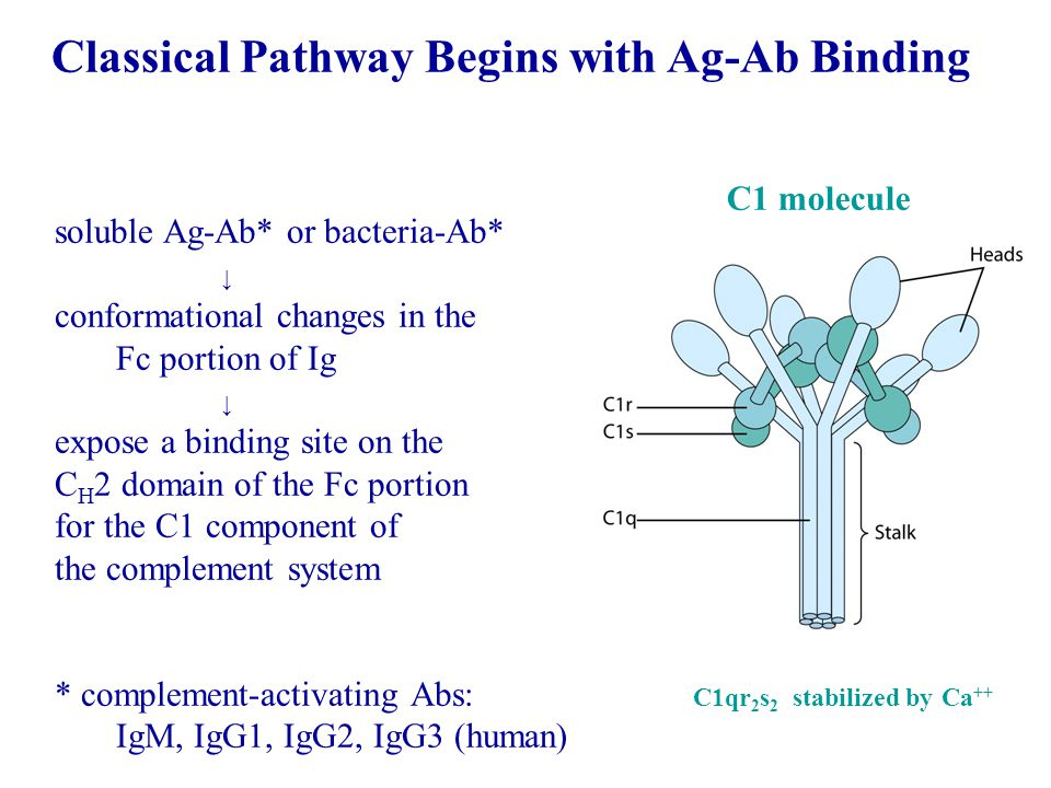 Classical Pathway Begins with Ag-Ab Binding soluble Ag-Ab* or bacteria-Ab* ↓ conformational changes in the Fc portion of Ig ↓ expose a binding site on the C H 2 domain of the Fc portion for the C1 component of the complement system * complement-activating Abs: IgM, IgG1, IgG2, IgG3 (human) C1qr 2 s 2 stabilized by Ca ++ C1 molecule