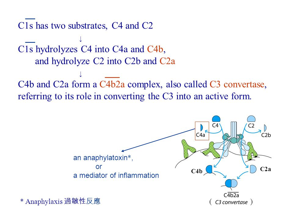 __ C1s has two substrates, C4 and C2 __ ↓ C1s hydrolyzes C4 into C4a and C4b, and hydrolyze C2 into C2b and C2a ↓ ___ C4b and C2a form a C4b2a complex, also called C3 convertase, referring to its role in converting the C3 into an active form.