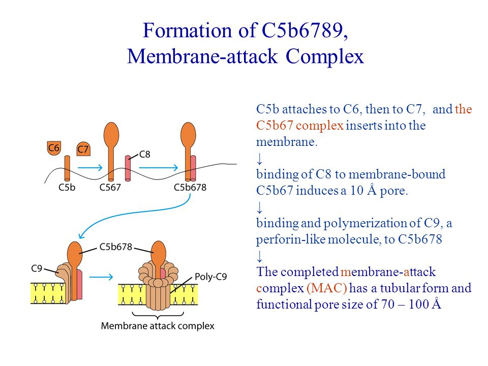 C5b attaches to C6, then to C7, and the C5b67 complex inserts into the membrane.