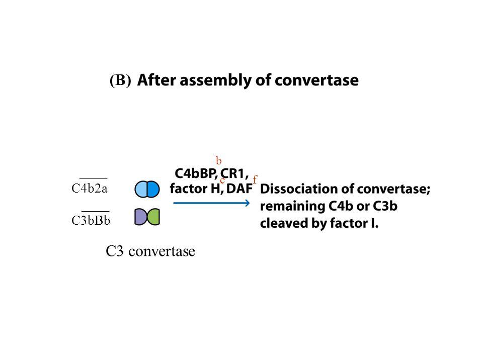 ____ C4b2a ____ C3bBb C3 convertase (B) b c f