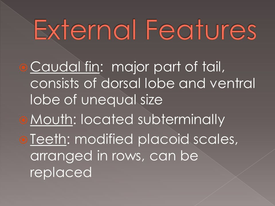  Caudal fin: major part of tail, consists of dorsal lobe and ventral lobe of unequal size  Mouth: located subterminally  Teeth: modified placoid scales, arranged in rows, can be replaced