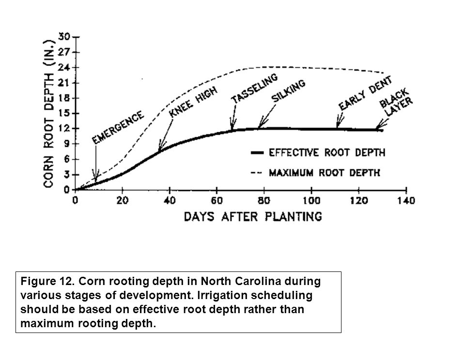 Figure 12. Corn rooting depth in North Carolina during various stages of development. Irrigation scheduling should be based on effective root depth ra