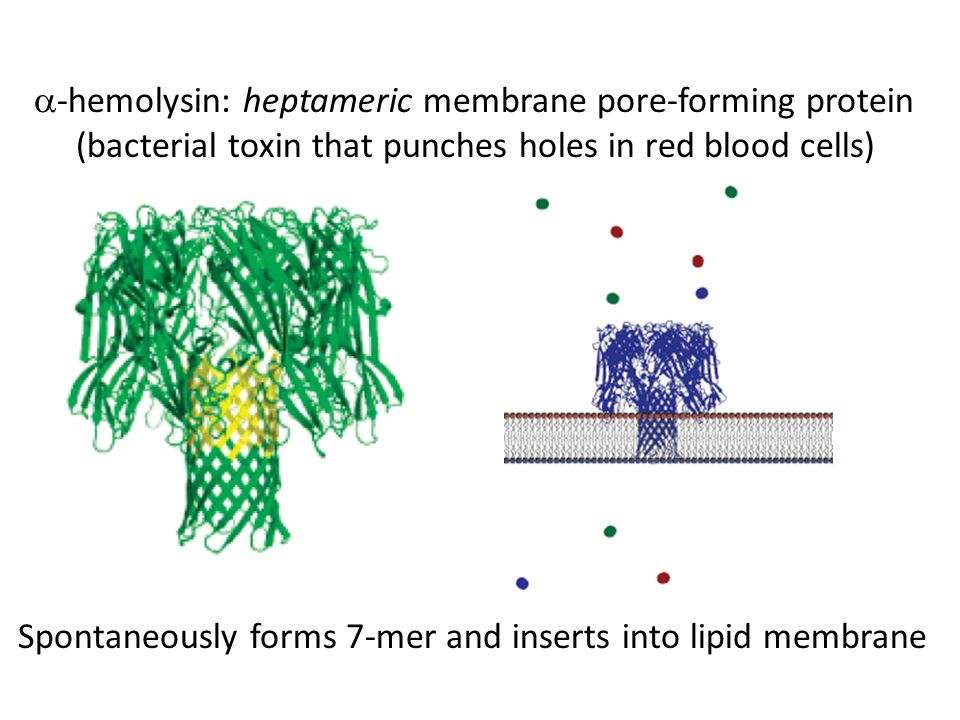  -hemolysin: heptameric membrane pore-forming protein (bacterial toxin that punches holes in red blood cells) Spontaneously forms 7-mer and inserts into lipid membrane