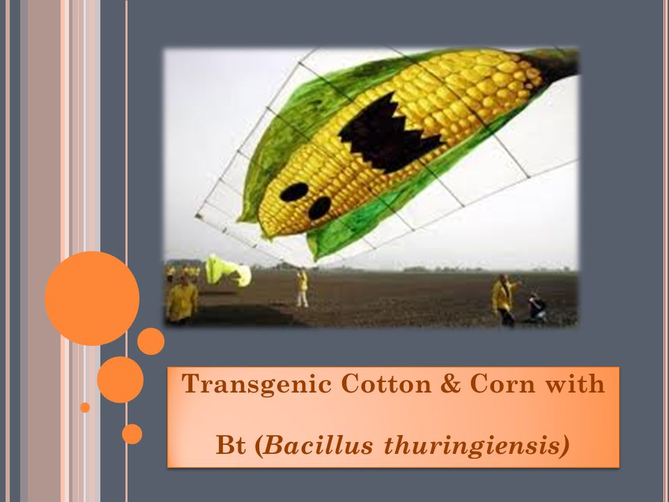 Transgenic Cotton & Corn with Bt ( Bacillus thuringiensis) Transgenic Cotton & Corn with Bt ( Bacillus thuringiensis)