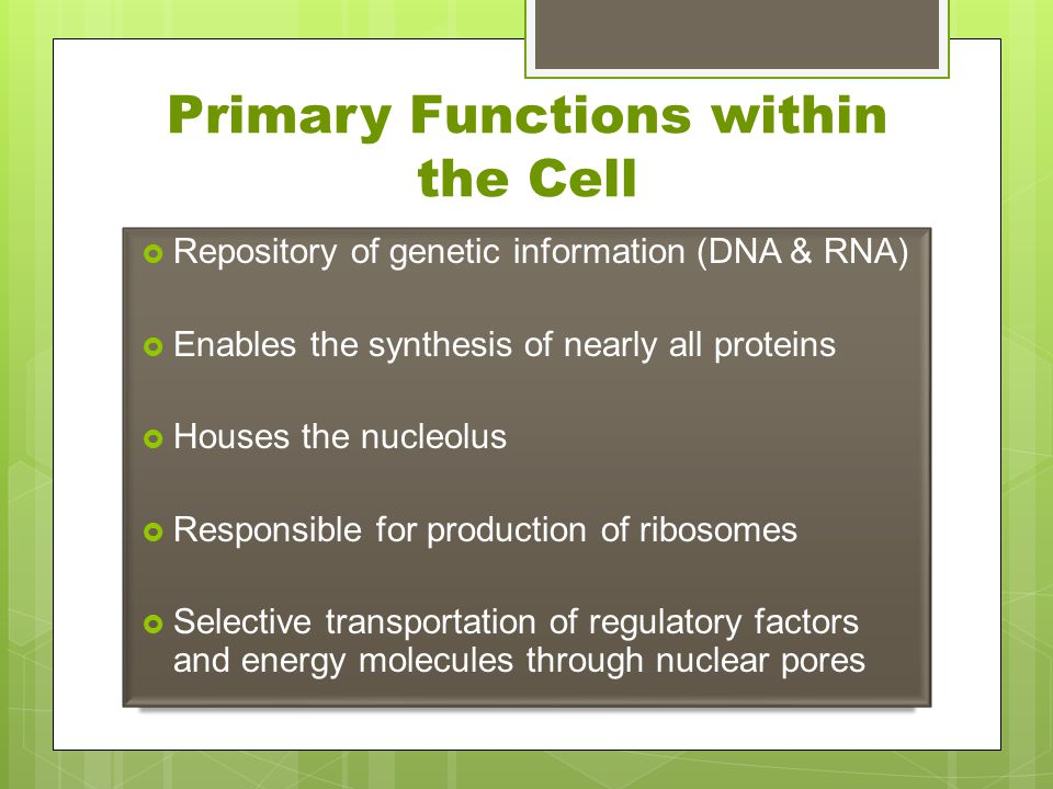 Primary Functions within the Cell  Repository of genetic information (DNA & RNA)  Enables the synthesis of nearly all proteins  Houses the nucleolu