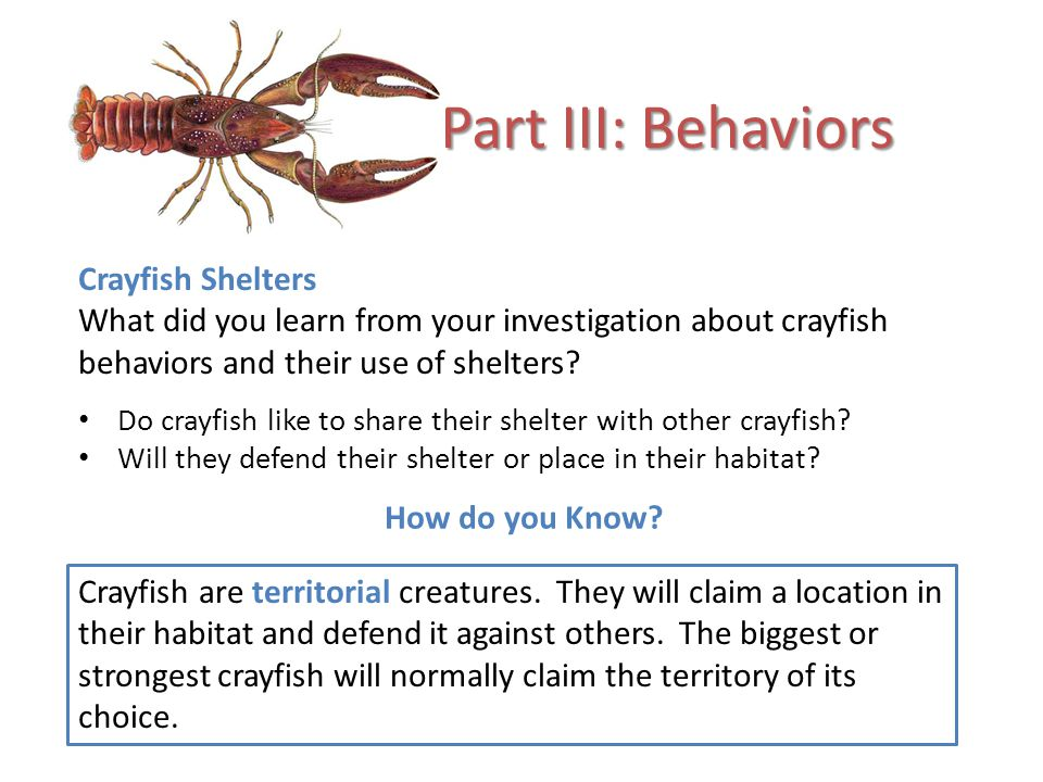 Part III: Behaviors Crayfish Shelters What did you learn from your investigation about crayfish behaviors and their use of shelters.