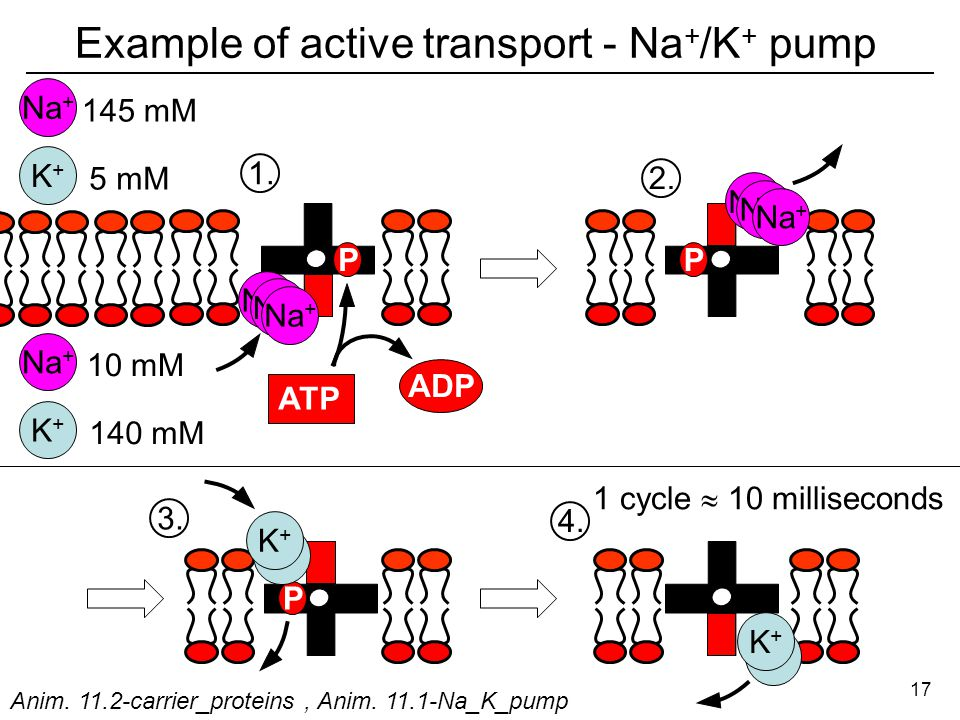 Example of active transport - Na + /K + pump Na + K+K+ P ATP ADP Na + P 145 mM 5 mM K+K+ Na + 10 mM 140 mM P K+K+ K+K+ K+K+ K+K+ 1 cycle  10 milliseconds 1.