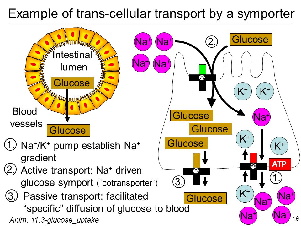 Example of trans-cellular transport by a symporter Glucose Na + Glucose 1.
