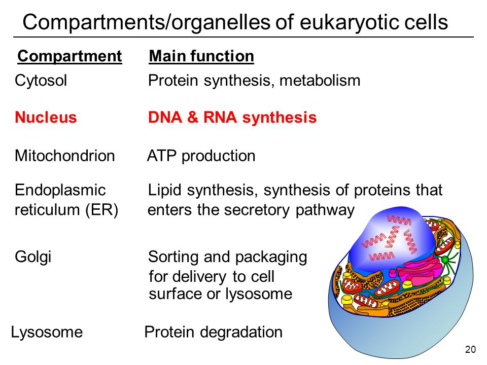 CompartmentMain function Cytosol Protein synthesis, metabolism Nucleus DNA & RNA synthesis Endoplasmic Lipid synthesis, synthesis of proteins that reticulum (ER) enters the secretory pathway Golgi Sorting and packaging for delivery to cell Lysosome Protein degradation Mitochondrion ATP production surface or lysosome 20 Compartments/organelles of eukaryotic cells