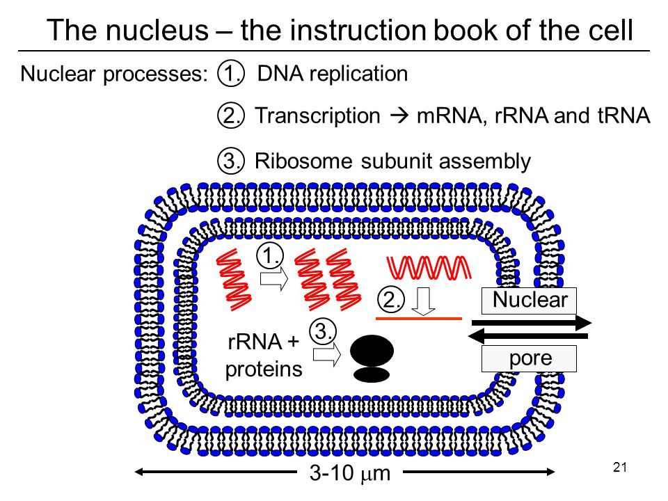 The nucleus – the instruction book of the cell Nuclear pore 1.