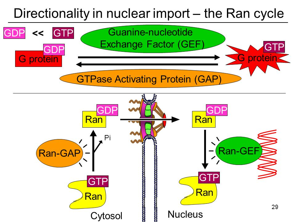 G protein Directionality in nuclear import – the Ran cycle Cytosol Nucleus GTP Ran GTP Ran GDP Ran GDP Ran-GAP Ran-GEF GTP G protein GDP GTPase Activating Protein (GAP) Guanine-nucleotide Exchange Factor (GEF) Pi << GDPGTP 29
