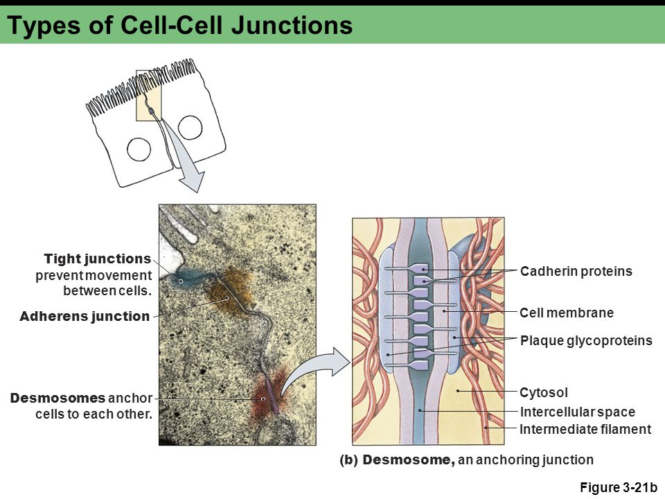 Types of Cell-Cell Junctions Figure 3-21b Tight junctions prevent movement between cells.