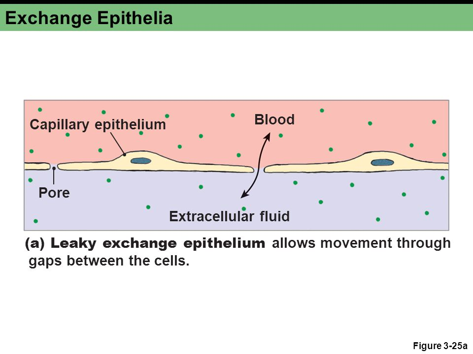 Exchange Epithelia Figure 3-25a Pore Extracellular fluid Blood (a) Leaky exchange epithelium allows movement through gaps between the cells.