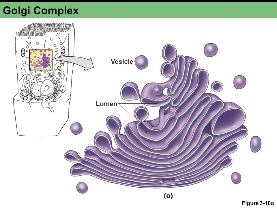 Golgi Complex Figure 3-18a Vesicle Lumen (a)