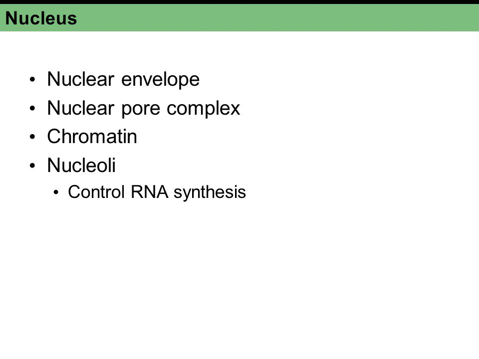 Nucleus Nuclear envelope Nuclear pore complex Chromatin Nucleoli Control RNA synthesis