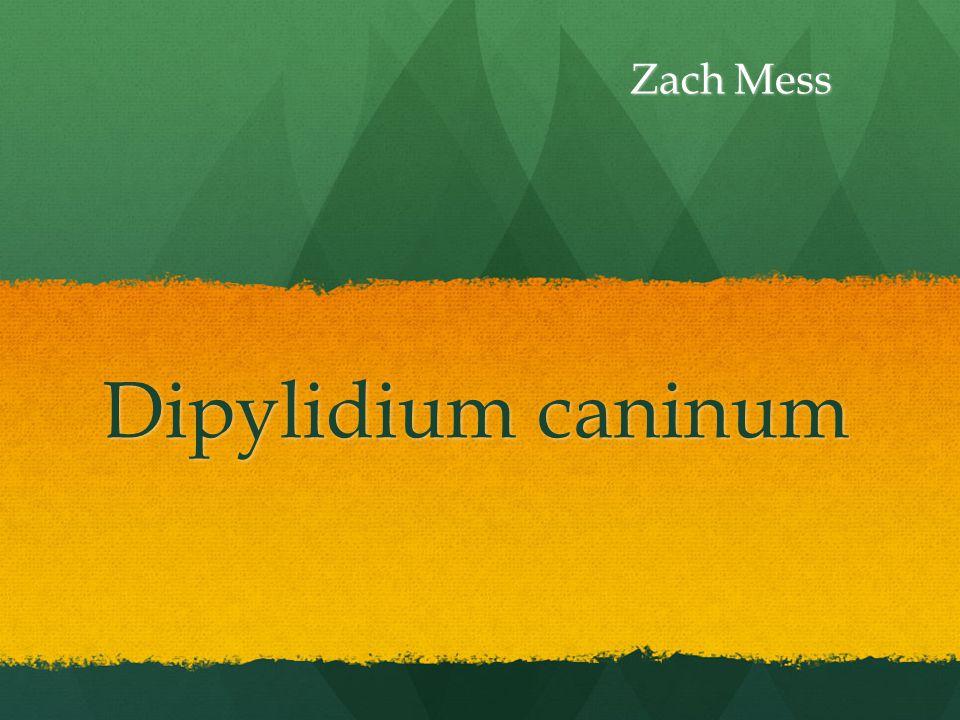 Dipylidium caninum Zach Mess