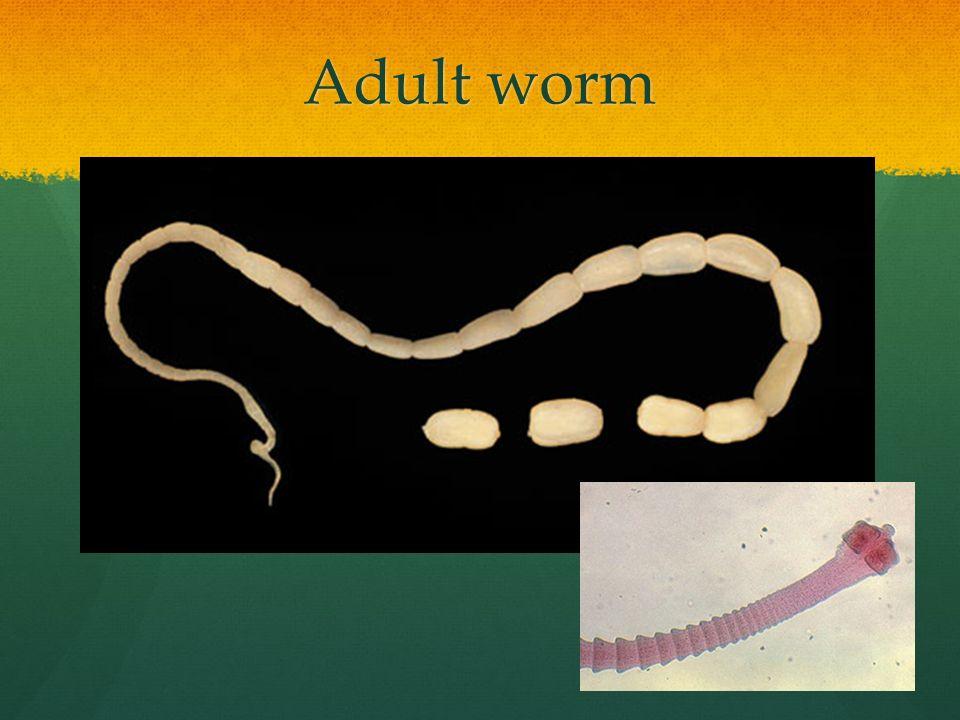 Adult worm