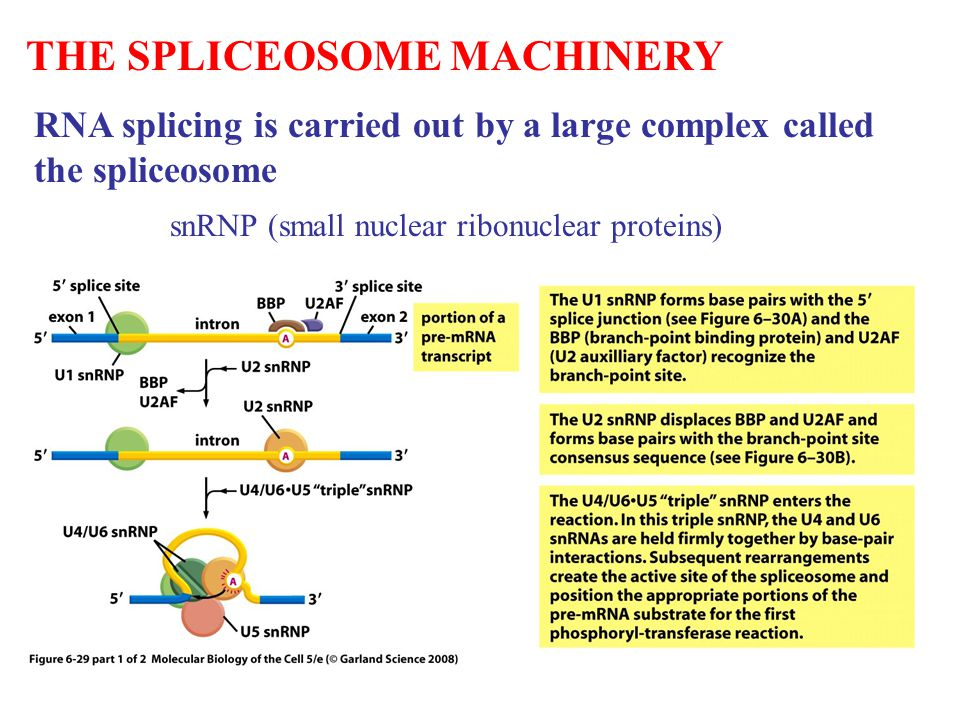 THE SPLICEOSOME MACHINERY RNA splicing is carried out by a large complex called the spliceosome snRNP (small nuclear ribonuclear proteins)