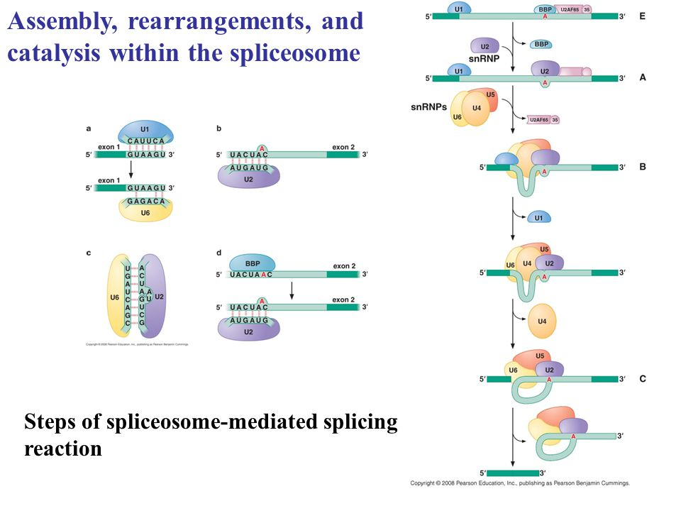 Steps of spliceosome-mediated splicing reaction Assembly, rearrangements, and catalysis within the spliceosome