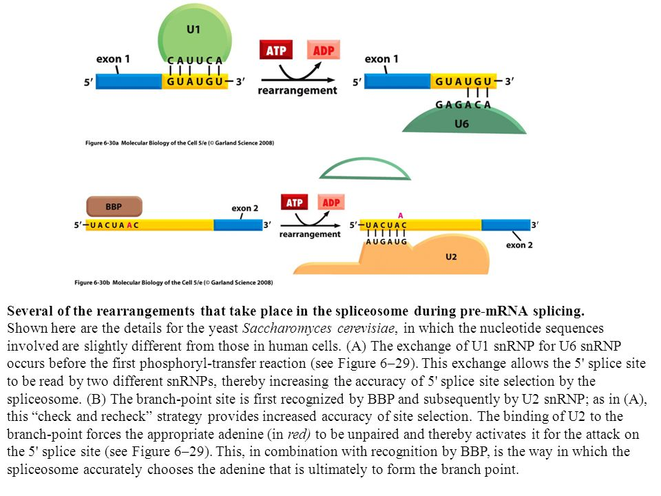 Several of the rearrangements that take place in the spliceosome during pre-mRNA splicing. Shown here are the details for the yeast Saccharomyces cere