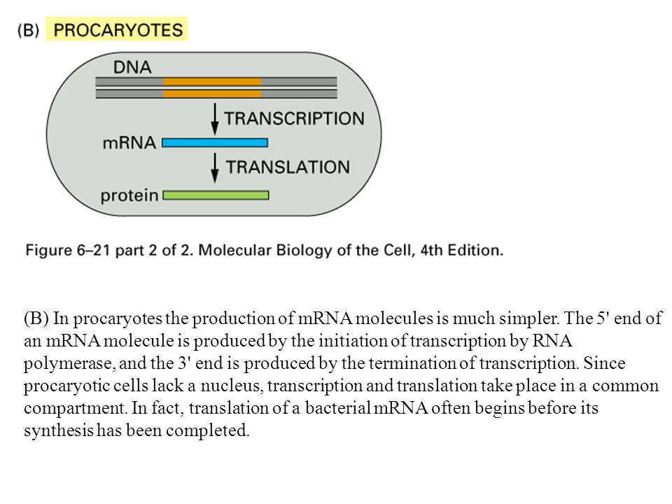 (B) In procaryotes the production of mRNA molecules is much simpler. The 5' end of an mRNA molecule is produced by the initiation of transcription by