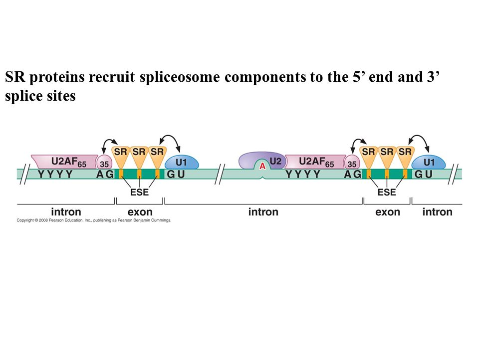 SR proteins recruit spliceosome components to the 5' end and 3' splice sites