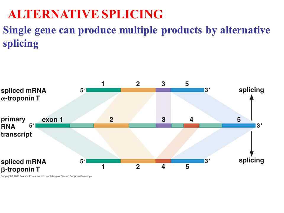 ALTERNATIVE SPLICING Single gene can produce multiple products by alternative splicing