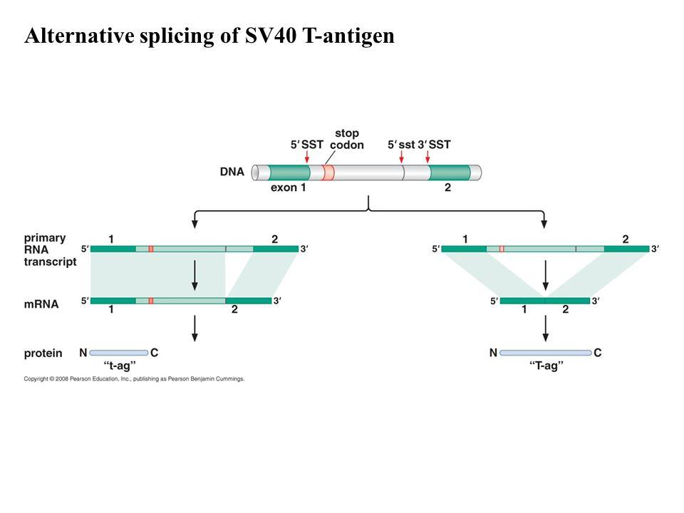 Alternative splicing of SV40 T-antigen