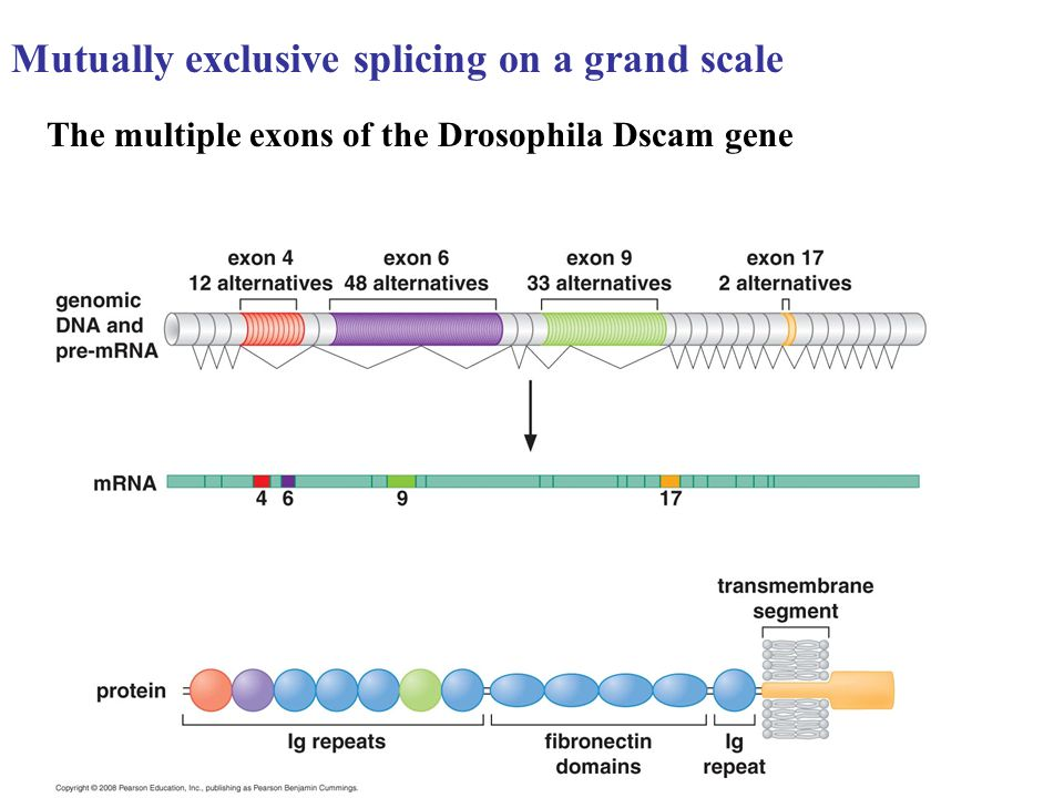 Mutually exclusive splicing on a grand scale The multiple exons of the Drosophila Dscam gene