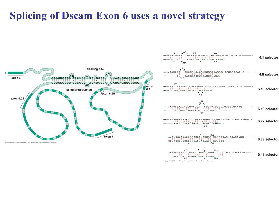 Splicing of Dscam Exon 6 uses a novel strategy