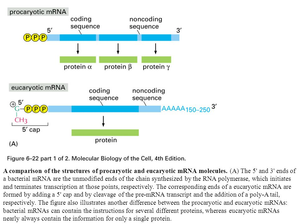 A comparison of the structures of procaryotic and eucaryotic mRNA molecules. (A) The 5' and 3' ends of a bacterial mRNA are the unmodified ends of the