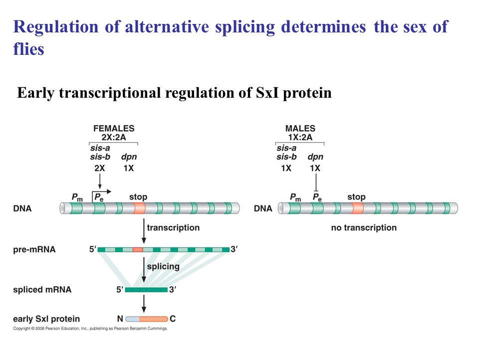 Regulation of alternative splicing determines the sex of flies Early transcriptional regulation of SxI protein