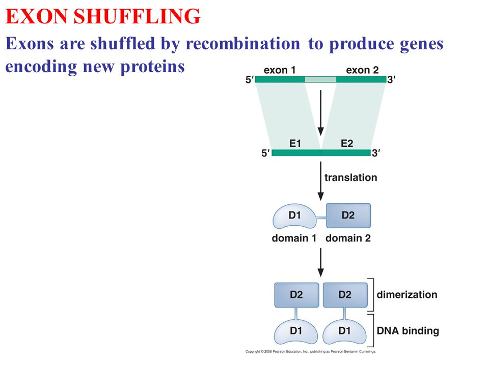 EXON SHUFFLING Exons are shuffled by recombination to produce genes encoding new proteins