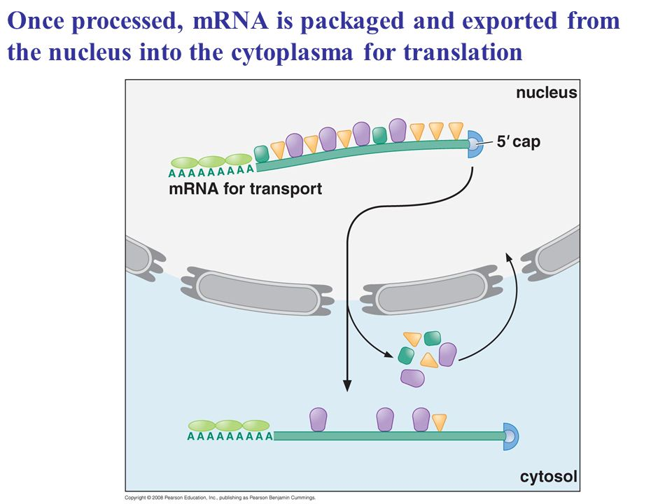 Once processed, mRNA is packaged and exported from the nucleus into the cytoplasma for translation