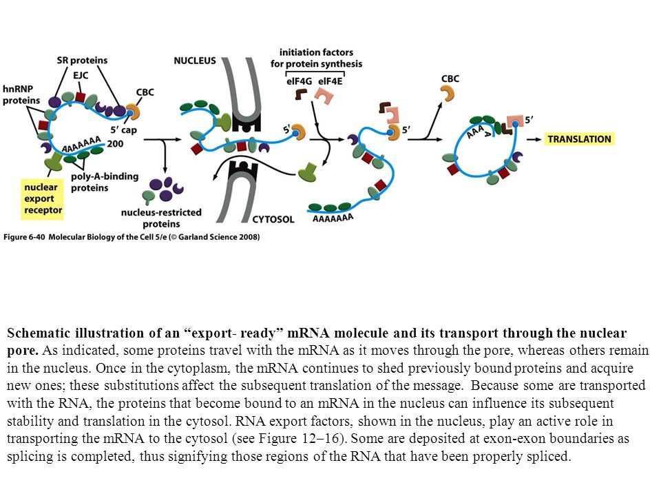 "Schematic illustration of an ""export- ready"" mRNA molecule and its transport through the nuclear pore. As indicated, some proteins travel with the mRN"