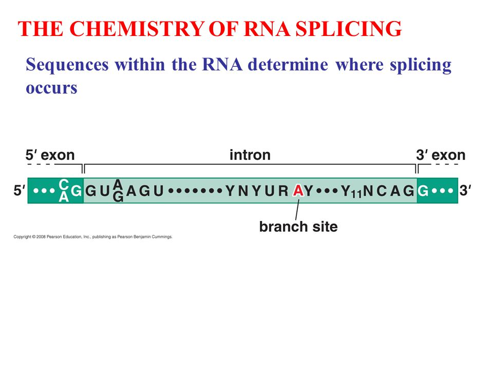 THE CHEMISTRY OF RNA SPLICING Sequences within the RNA determine where splicing occurs