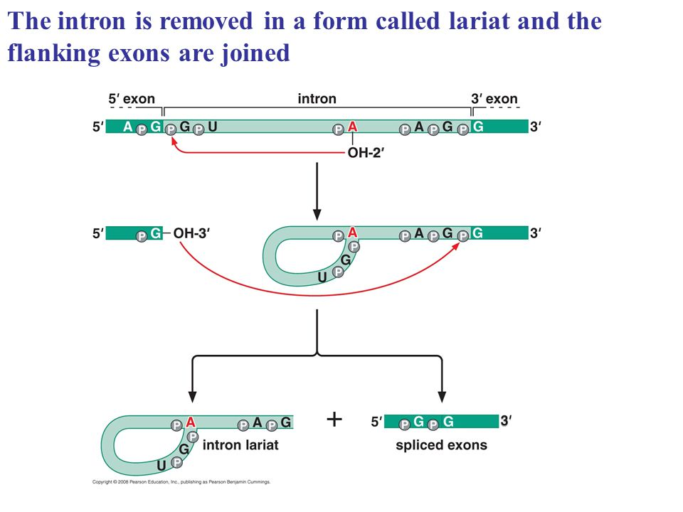 The intron is removed in a form called lariat and the flanking exons are joined