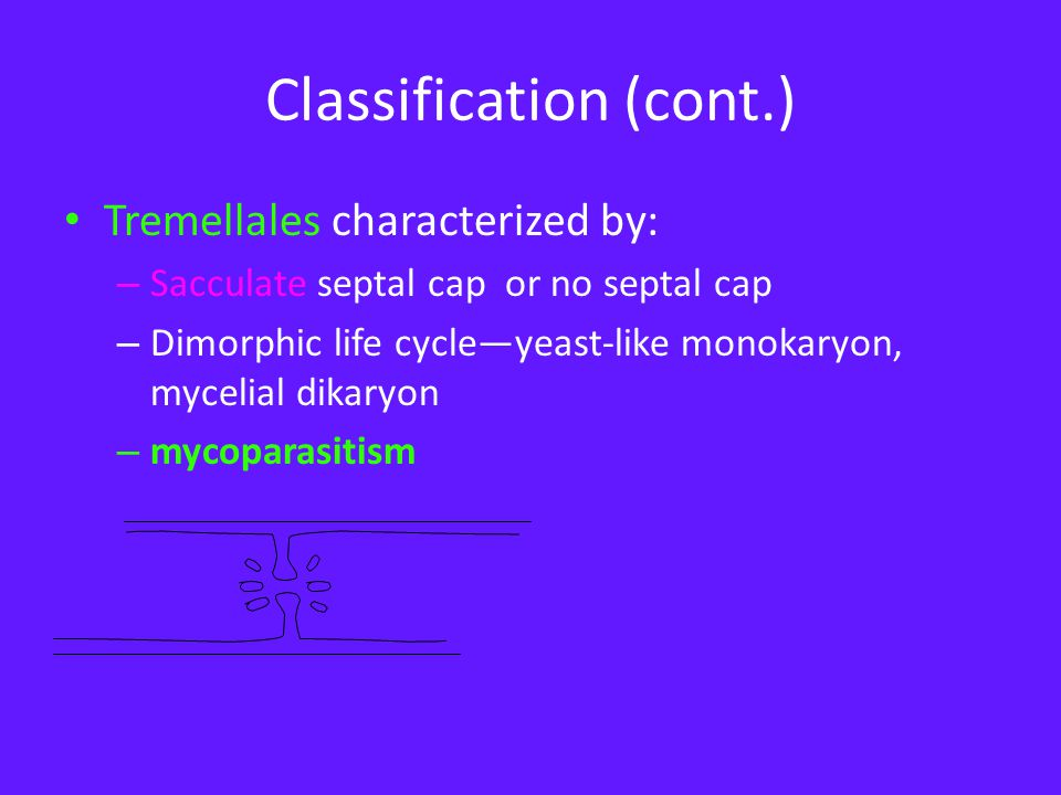 Classification (cont.) Tremellales characterized by: – Sacculate septal cap or no septal cap – Dimorphic life cycle—yeast-like monokaryon, mycelial dikaryon – mycoparasitism